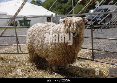 Devon and Cornwall Longwool sheep Exeter, Devon, UK. 21st May, 2014.  Devon County Show Press Preview Day Credit: - Stock Photo