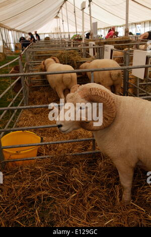 Exeter, Devon, UK. 21st May, 2014. Exmoor Horn sheep  Devon County Show Press Preview Day Credit:  Anthony Collins/Alamy - Stock Photo