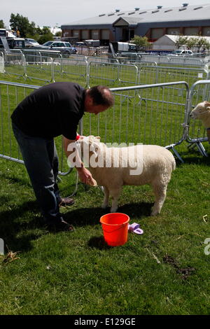 Exeter, Devon, UK. 21st May, 2014. Sprucing up a lamb for showing  Devon County Show Press Preview Day Credit:  - Stock Photo