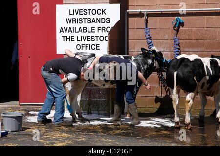 Exeter, Devon, UK. 21st May, 2014. Sprucing up the cows ready for tomorrow's show  Devon County Show Press Preview - Stock Photo
