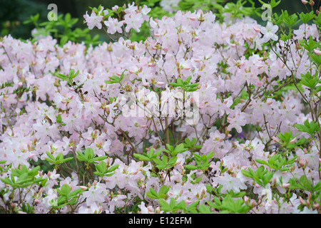 Pink Rhododendron schlippenbachii blooming - Stock Photo