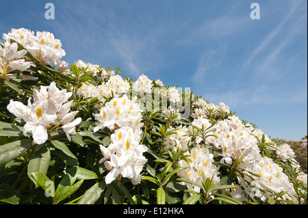 Abundant masses of delicate large blossom pale cream white and yellow deciduous Azalea flowers against blue sunny - Stock Photo