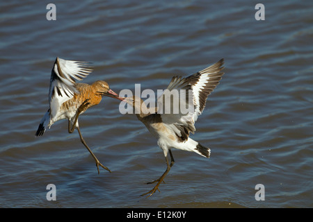 Black-tailed Godwits Limosa limosa Immature birds fighting over feeding territory - Stock Photo