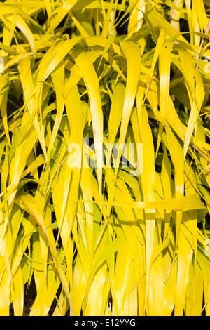 Bright golden leaves of the Japanese forest grass, Hakonechloa macra 'All gold' - Stock Photo