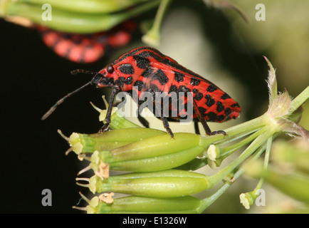 Red and black Italian Striped Beetle or Minstrel Bug (Graphosoma lineatum) - Stock Photo