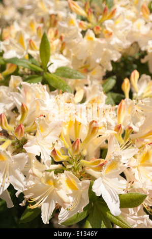 Abundant masses of delicate large blossom pale cream white and yellow deciduous Azalea flowers - Stock Photo