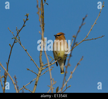 Cedar Waxwing perched in tree - Stock Photo