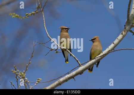 Cedar Waxwing Pair perched in tree - Stock Photo