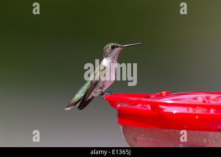Immature male ruby-throated hummingbird perched on feeder - Stock Photo