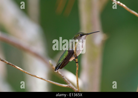 Immature Male Ruby-throated hummingbird perched on twig - Stock Photo