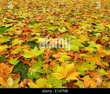 Maple (Acer sp.), autumn leaves, Styria, Austria - Stock Photo