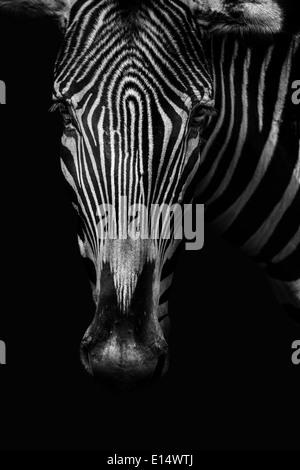Zebra portrait in black and white - Stock Photo