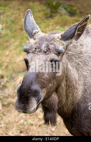 Moose or Eurasian Elk (Alces alces), bull, antlers starting to form in spring, captive, animal enclosure - Stock Photo