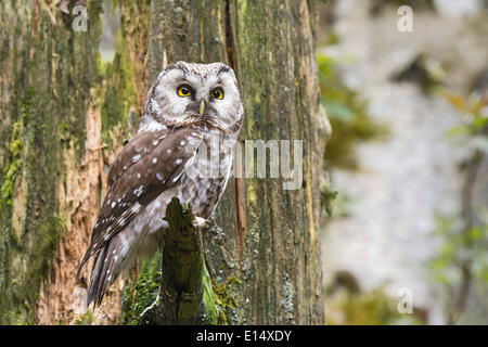 Tengmalm's Owl or Boreal Owl (Aegolius funereus), captive, animal enclosure, Bavarian Forest National Park, Bavaria, - Stock Photo