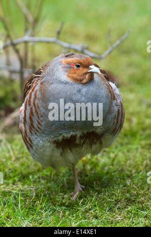 Partridge or Grey Partridge (Perdix perdix), captive, animal enclosure, Bavarian Forest National Park, Bavaria, - Stock Photo