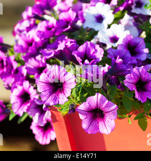 Colorful multiflora petunias in an orange wooden planter or window box. - Stock Photo