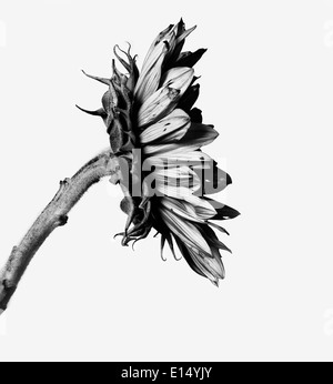 Sunflower in black and white - Stock Photo