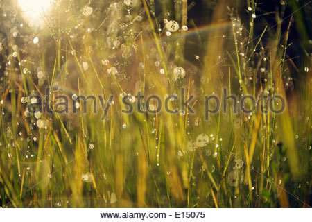 Sweden, Leksand, Drops of water on grass stalks - Stock Photo