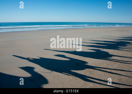 Australia, Western Australia, Broome, Cable Beach. Early morning sight-seeing camel ride on Cable Beach. - Stock Photo