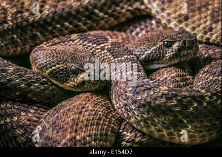 Two Western diamondback rattlesnakes / Texas diamond-back rattlesnake (Crotalus atrox) curled up, United States - Stock Photo