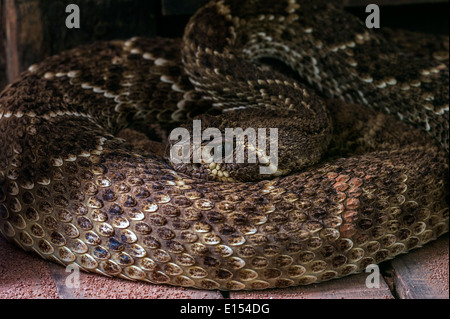 Western diamondback rattlesnake / Texas diamond-back rattlesnake (Crotalus atrox) curled up, United States and Mexico - Stock Photo