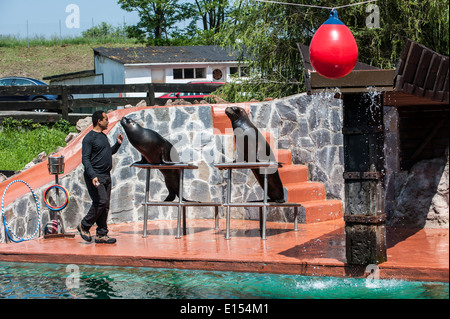 Patagonian sea lions (Otaria flavescens) performing with trainer during show in the Cabarceno Natural Park, Penagos, - Stock Photo