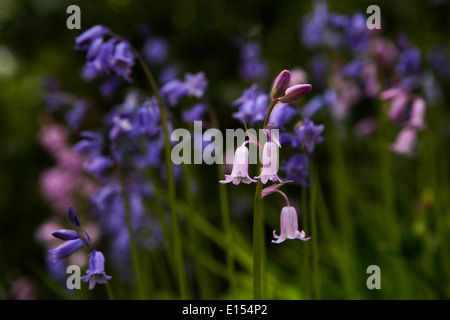 Pink bluebells with traditional bluebells. - Stock Photo