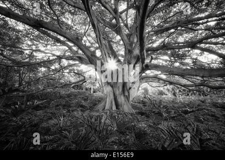 White Fig tree (Higuera blanca, with split leaf philodendron. Punta Mita, Mexico. - Stock Photo