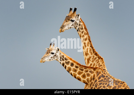 Male and female Masai giraffe (Giraffa camelopardalis tippelskirchi) during courtship with dark sky in background. - Stock Photo