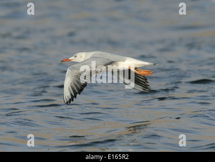 Slender-billed Gull - Larus genei - 1st summer - Stock Photo