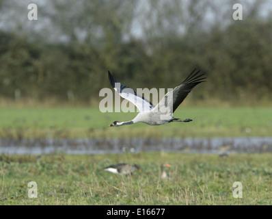 Common Crane - Grus grus - Stock Photo