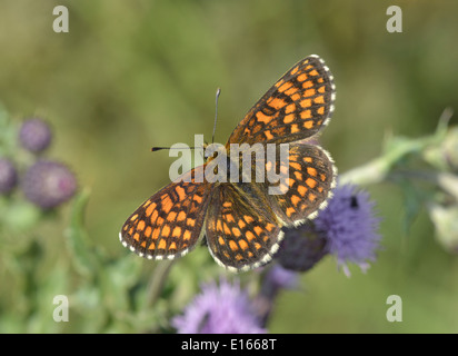 Heath Fritillary Melitaea athalia - Stock Photo