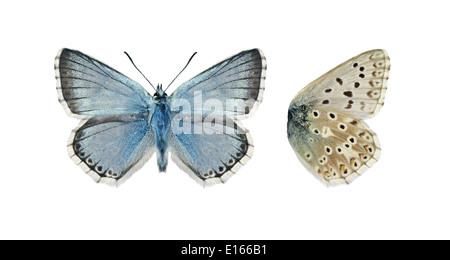 Chalkhill Blue Polyommatus coridon - Male - Stock Photo