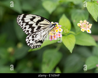 Idea leuconoe - The Paper Kite, Rice Paper, or Large Tree Nymph butterfly , Aka Island, Kerama Islands, Okinawa, - Stock Photo