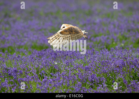 Barn Owl, Tyto alba in flight over bluebells - Stock Photo