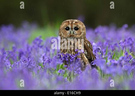 Tawny Owl, Strix aluco sitting in bluebells - Stock Photo