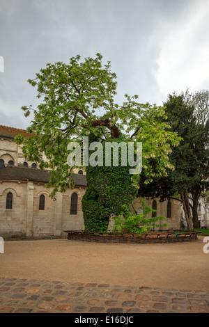 Black locust or false Acacia (Robinia pseudoacacia) - the oldest tree in Paris, Square Rene Viviani. - Stock Photo