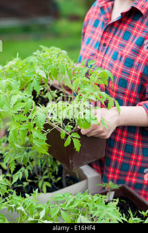 Woman holding crate with tomato seedlings - Stock Photo
