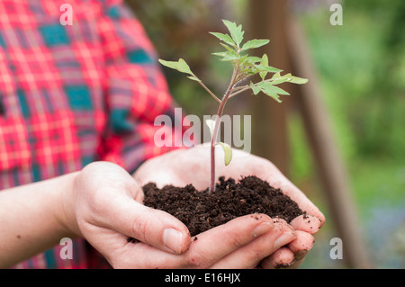 Woman holding young tomato seedling - Stock Photo