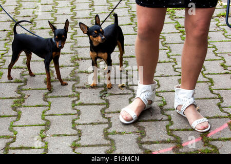 Prague ratter, national breed - Stock Photo