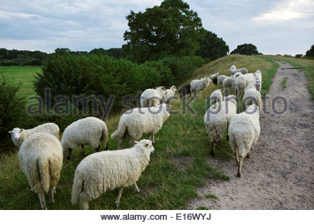 A flock of Walachian sheep graze the Dannevirke rampart that encircles the site of the ancient Viking market town - Stock Photo