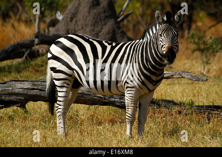 A fine example of a Burchell's Zebra Stallion in the African bush veld of Savuti Marsh Botswana. Plains game for - Stock Photo