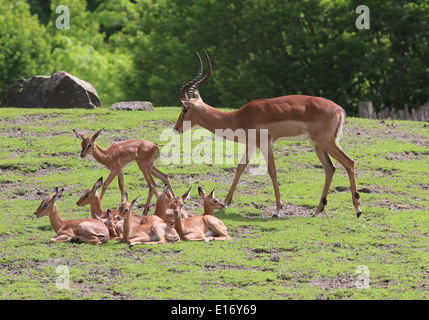 Antlered adult male impala antelope with baby  Impala calves (Aepyceros melampus) - Stock Photo