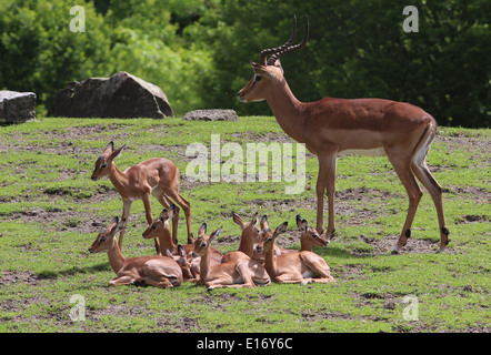 Young Impala antelope calves  (Aepyceros melampus) with antlered adult male impala - Stock Photo