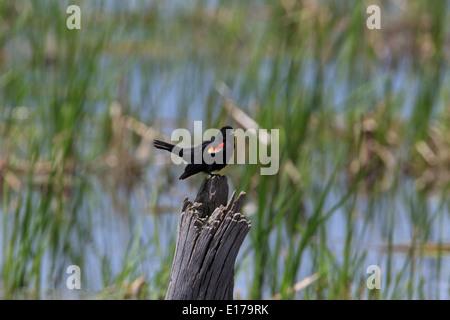 Male red-winged blackbird (Agelaius phoeniceus) - Stock Photo