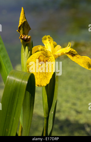 Yellow and brown iris flowers stock photo 71193349 alamy brown marked yellow flowers of the flag iris iris pseudacorus roy davidson mightylinksfo