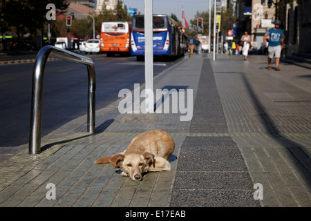 stray dog lying on avenida libertador general bernado o'higgins downtown Santiago Chile - Stock Photo