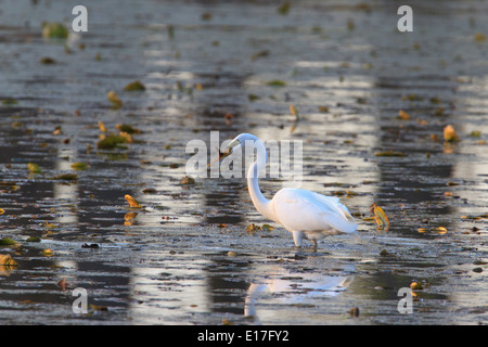Great egret ardea alba hunting fish in shallow waterr on for Apache mexican cuisine galveston