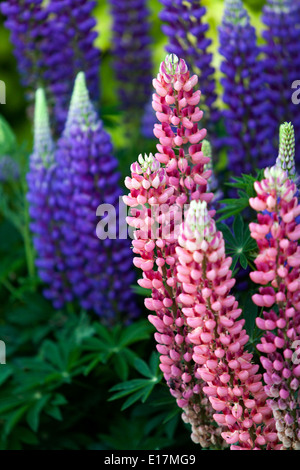 Lupinus polyphyllus, Lupine, Lupines, Lupins - Stock Photo