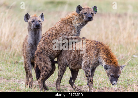 Spotted hyaena (Crocuta crocuta) mating.Masai Mara National Reserve. Kenya - Stock Photo